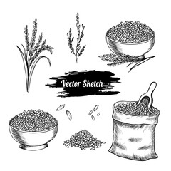 Vector rice hand drawn sketch .  Sketch vector  illustration. Vintage style