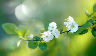 Beautiful branch of blooming plum in spring on a natural green background in sunshine with beautiful sunlight flakes close-up macro, soft focus.