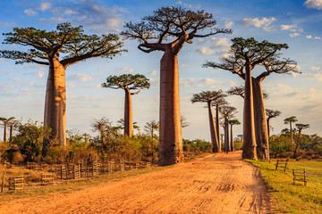 In de dag Baobab Beautiful Baobab trees at sunset at the avenue of the baobabs in Madagascar