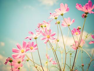 Cosmos flowers.