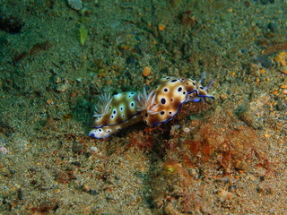 True sea slugs