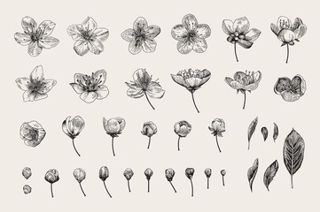Wall Mural - Set. Cherry Flowers, Leaves and buds. Vector botanical illustration. Black and white