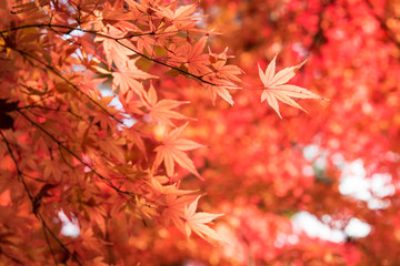 Colorful of maple leaves in autumn with bokeh.