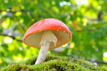 Amanita muscaria, Fly Agaric in moss in forest. Magic mushrooms background