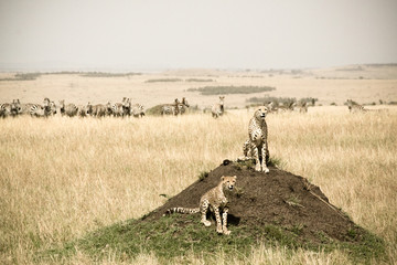 Cheetah Brothers on the hunt