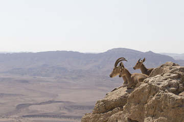 A mountain goat with beautiful horns and two young goats lie on stones over the abyss in the Judean mountains against the background of the desert
