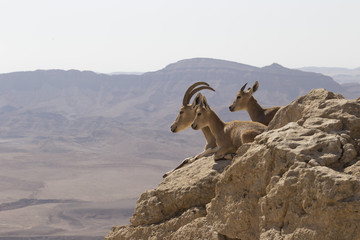 A mountain goat with big horns and two young goats rest on the stones over the precipice in the Judean mountains