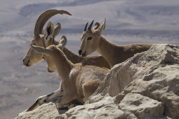 Three mountain goats rest on the stones above the abyss in the Judean mountains on a blurred desert background