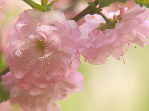 Pink tonsil flowers on a delicate pastel background.