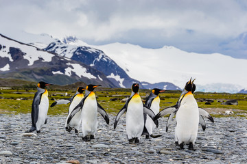 Poster Antarctica Group of king penguins coming together , mountain background, South Georgia, Wildlife scene from nature. Animal from Antarctica,