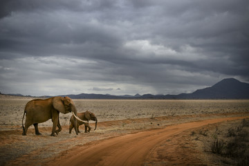 Elephants in Savannah, East Africa, Kenya.