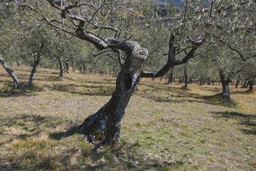 Olivenbäume bei San Daminano, Assisi, Umbrien, Italien