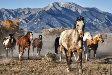 A Leader of Running Horses with Mountain Backdrop