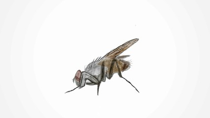 Painted fly. Fly on a white background. Vector fly. Harmful insects