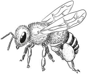 Biene mit Pollenhose - Vektor-Illustration