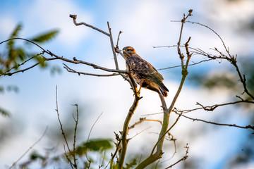 Common buzzard or Buteo buteo on tree branch