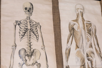 Two Drawing of Human Anatomy: Skeleton and Torso Musculature