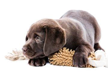 Brauner Labrador Retriever Welpe liegt eisam deprimiert und krank