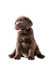 Brauner Labrador Retriever Welpe sitzt tolpatisch unbeholfen und freut sich