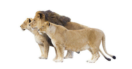 lion and lioness on a white background isolated