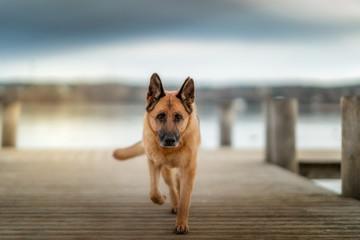 Deutscher Schäferhund am Starnberger See