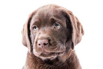 Brauner Labrador Retriever Welpe Kopfportrait guckt Traurig