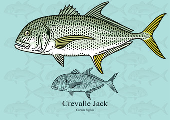 Crevalle Jack. Vector illustration for artwork in small sizes. Suitable for graphic and packaging design, educational examples, web, etc.