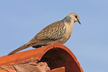 Perlhalstaube (Spilopelia chinensis) - Spotted dove / Sri Lanka
