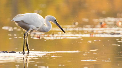 Egret and golden hour Wall mural