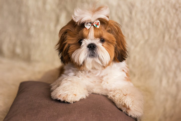 Portrait of a cute puppy dog shih tzu with bow lying on a couch at home
