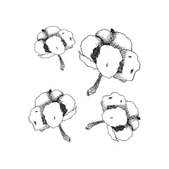 Vector hand drawn cotton. Cotton flower buds in vintage engraved style. Botanical art isolated on white background. Use for print, poster, decoration and other design.