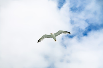 seagull flies in blue sky with white clouds