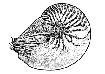 Nautilus shell illustration, drawing, engraving, ink, line art, vector