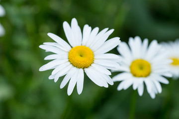 Two white daisy flowers on the background of green grass