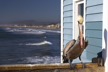 Brown Pelican Large Water Bird with foot tracking tag on wooden railing on Oceanside Pier with Pacific Ocean coastline in the background north of San Diego California