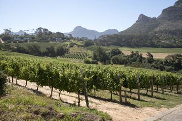 Poster de jardin Afrique du Sud Constantia Western Cape South Africa. December 2017. Vines in the Constantia glen area