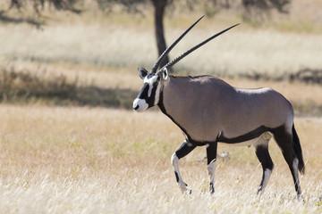 Lone Oryx walking over a grassy plain in the hot Kalahari sun