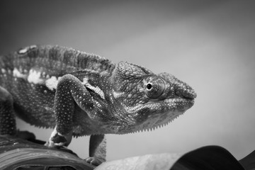 close up of beautiful chameleon walking in black and white