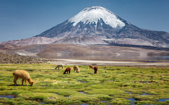 Alpaca's (Vicugna pacos) grazing on the shore of Lake Chungara at the base of Parinacota Volcano, in the northern Chile.
