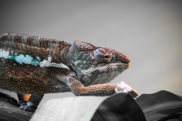 close up of beautiful colorful chameleon walking