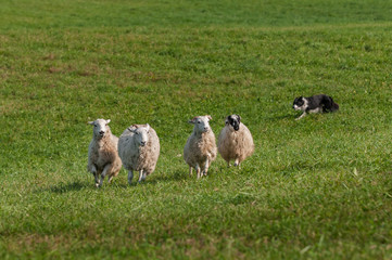 Stock Dog Runs Left Behind Group of Sheep (Ovis aries)