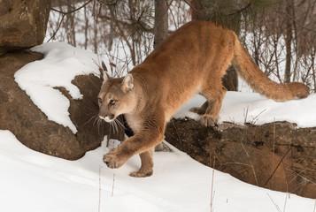 Adult Female Cougar (Puma concolor) Steps Off Rock