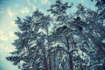 Winter landscape. Pine trees covered with snow against blue sky