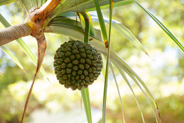 Close up of a palm fruit at Anse de Cascades, La Reunion in autumn