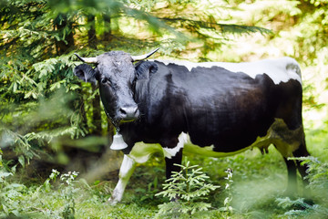 Cow with a bell in the forest thicket, close-up