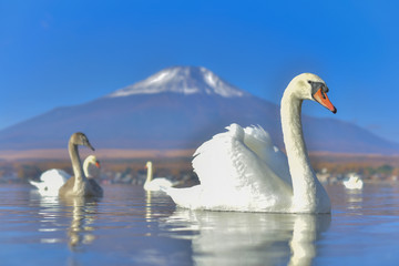 White Swan feeling romantic and love  at Lake Yamanaka with Mt. Fuji background