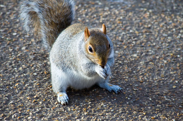 A squirrel munching the nut.
