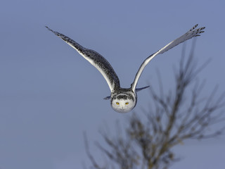 Snowy Owl in Flight on Blue Sky