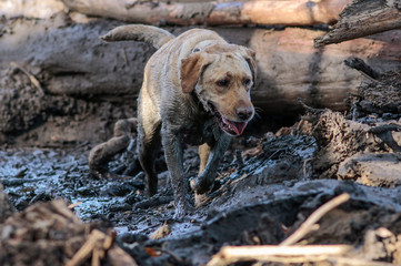 A search and rescue dog is guided through properties after a mudslide in Montecito, California