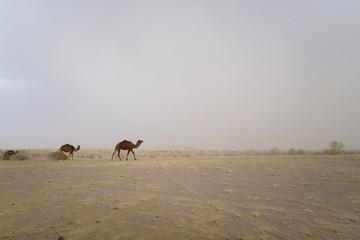 bactrian camel family at Maranjab Desert, Kashan, Iran